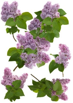 http://www.wallsweethome.fr/fr/stickers-muraux/stickers-fleurs/stickers-lilas/